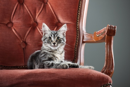 Portrait of a cute kitten relaxing on a baroque armchair photo