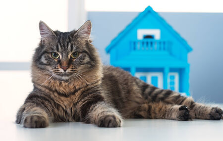 house cat: Beautiful cat posing in front of a model house on a desk.