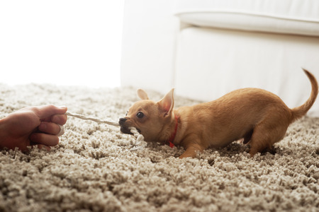 Cute chihuahua dog playing on living rooms carpet with a rope. photo
