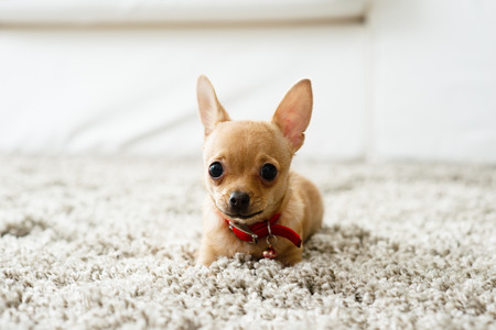 Cute chihuahua dog playing on living rooms carpet and looking at camera. Фото со стока