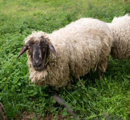 wolly: Black-faced sheep standing in the grass and looking at camera. Stock Photo