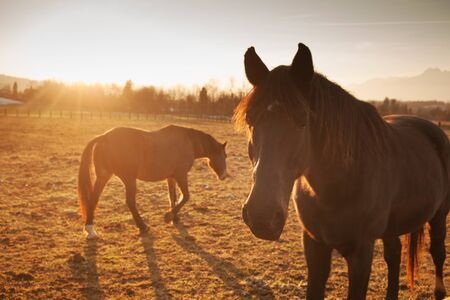 breeding ground: Beautiful horses grazing at sunset with country landscape
