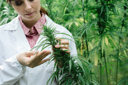 Female scientist in a hemp field checking plants and flowers, alternative herbal medicine concept