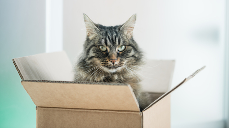 think out of the box: Beautiful long hair cat sitting in a cardboard box and looking at camera