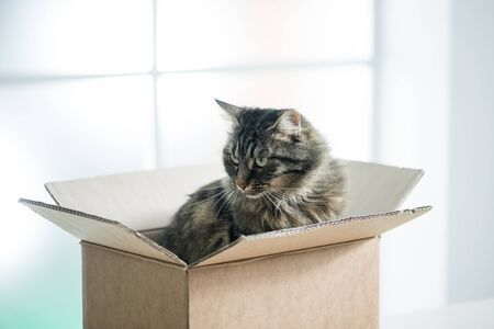 think out of the box: Beautiful long hair cat sitting in a cardboard box next to a window