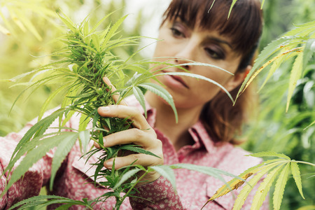 Young woman in a hemp field checking plants and flowers, agriculture and nature concept