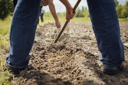 hoeing: Farmers working in the fields hoeing and tilling the fertile soil during a summer sunny day