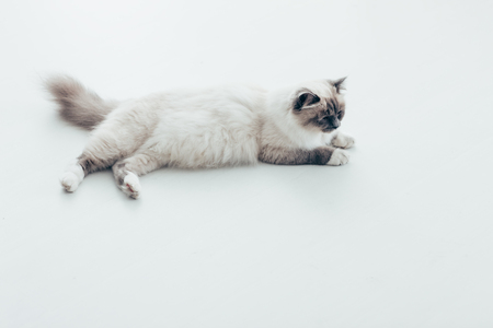 sprawled: Beautiful cat relaxing at home and lying down on the floor, pet life concept