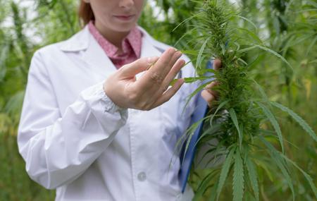 Weibliche Arzt mit Zwischenablage Test Cannabis sativa Blumen auf dem Gebiet Standard-Bild - 61529728