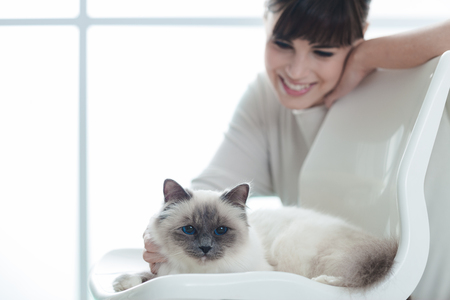 affectionate: Cute birman cat at home relaxing and lying on a chair, her owner is caressing her fur