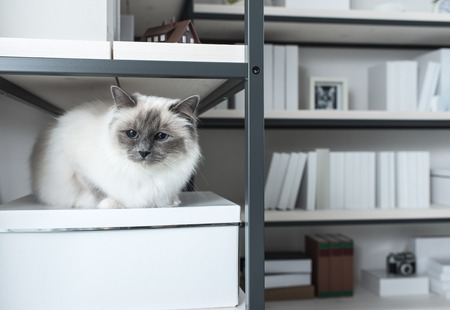 looking around: Beautiful lovely cat exploring shelves at home,  sitting on a shelf and looking around