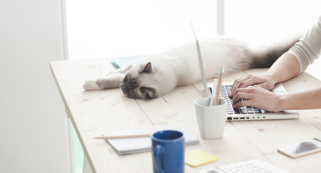 sprawled: Lovely sleepy cat lying on a desktop, her owner is typing on a laptop and looking at her