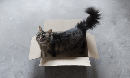 Cute long hair cat playing in a cardboard box on the floor