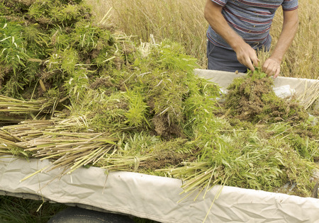 Professional farmer tying bundles of freshly harvested hemp stalks: industrial hemp cultivation Standard-Bild