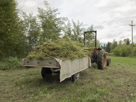 Bundles of hemp plants on the agricultural trailer and fields in the background: industrial hemp cultivation concept