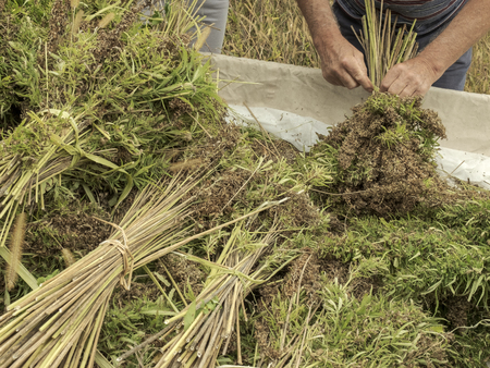 Professional farmer tying bundles of freshly harvested hemp stalks: industrial hemp cultivation Stock Photo