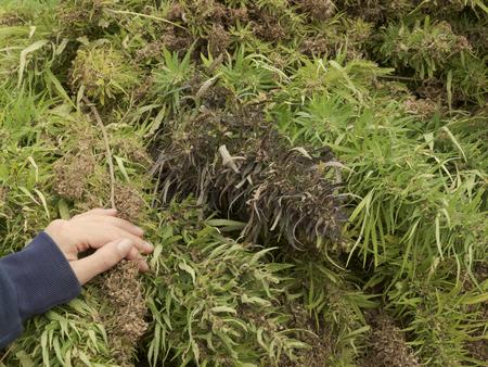 Farmer checking some freshly harvested hemp plants with seeds: industrial hemp cultivation concept Standard-Bild - 116701671