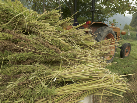 Bundles of hemp plants on the trailer and tractor: industrial hemp cultivation concept