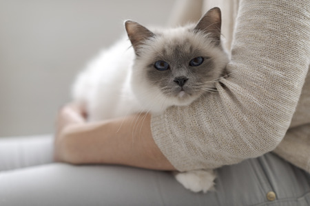 Woman holding a beautiful birman cat on lap and cuddling, pets and lifestyle concept