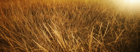 Golden grass in the fields on a sunny summer day: seasons and nature concept Imagens