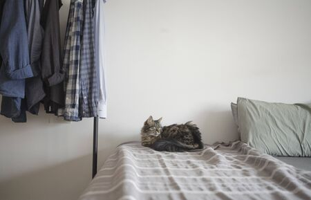 Cute long hair cat lying on the bed at home on the bed sheets, pet lifestyle concept Stock Photo