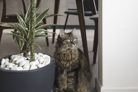 Beautiful long hair cat sitting next to a houseplant at home, pet lifestyle concept
