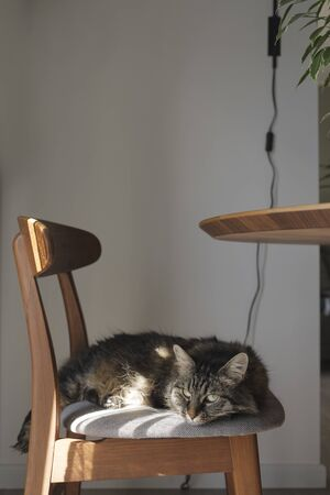 Lovely long hair cat lying down on a design chair at home, pet lifestyle concept