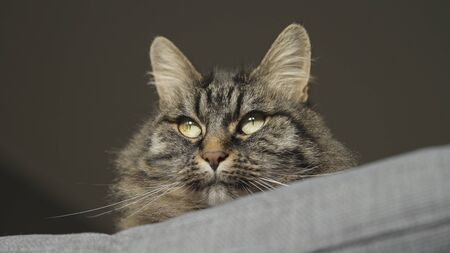 Beautiful long hair cat lying on a comfortable sofa at home, pet lifestyle concept