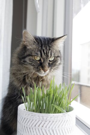 Cute long hair cat sitting next to a window and eating fresh catnip in a pot, pet lifestyle concept
