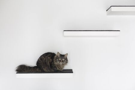 Beautiful long hair cat lying on a shelf at home and looking at camera