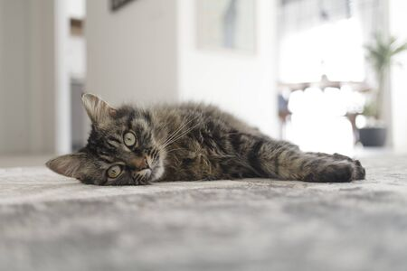Beautiful long hair cat lying on a carpet at home and looking at camera Foto de archivo - 140090427