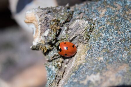 The ladybird crawls on a dry tree. Insects wake up in the spring