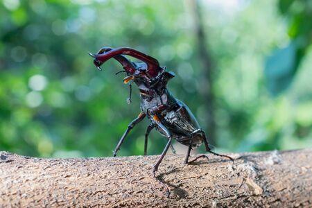 Käfer - ein Reh krabbelt auf einem Holzstab. Käfer mit Hörnern.