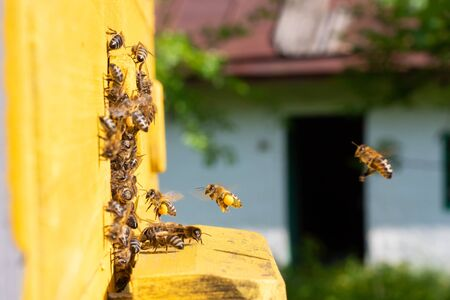 Bees fly into the hive. Bees carry pollen on their paws Stock fotó