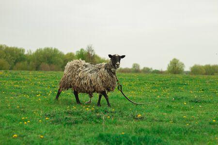 A black sheep grazes on a green meadow.Small farm. Stok Fotoğraf