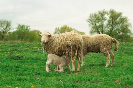A white sheep grazes in a green meadow. A young sheep eats milk.