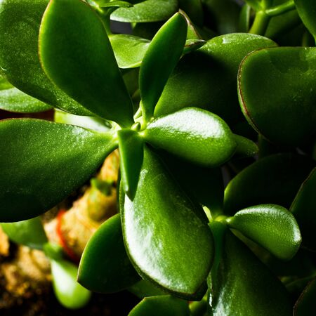 Macro photo of Money tree leafes Stock Photo - 12083907