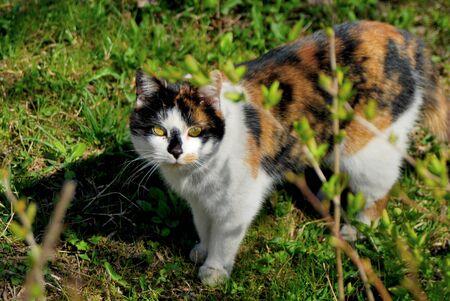 calico cat: Calico cat on grass Stock Photo