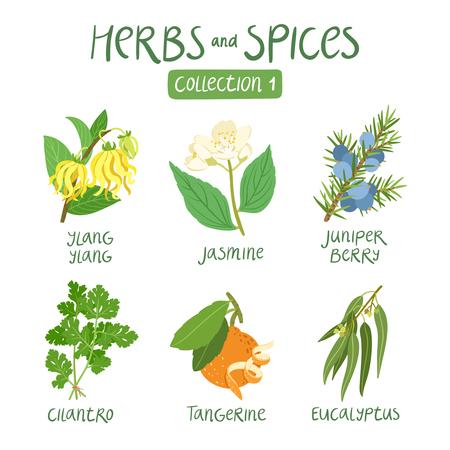 aceite de cocina: Hierbas y especias de recogida 1. Para los aceites esenciales, la medicina ayurv�dica Vectores