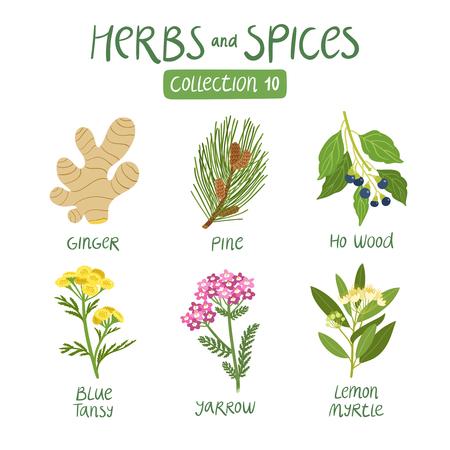 jengibre: Hierbas y especias de recogida 10. Para los aceites esenciales, la medicina ayurvédica Vectores