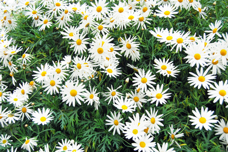 flowerbed: Beautiful chamomile flowerbed