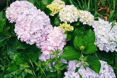 Beautiful big hydrangeas flowers, different colors