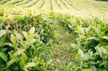 Tea plantation field, tea bushes rows