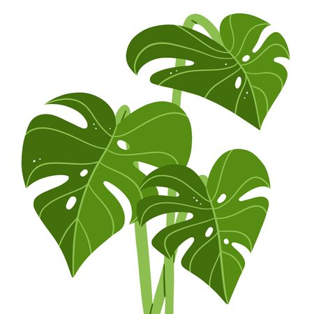 Fresh green monstera leaves, tropical vector illustration, isolated on white background
