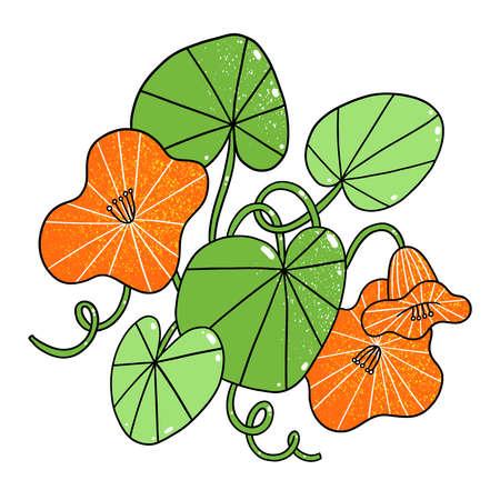 Beautiful orange nasturtium flowers, cartoon vector illustration, isolated on white
