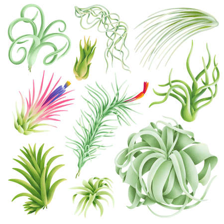 Tillandsia exotic beautiful air plants illustration collection, isolated on white background