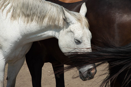 A white horse and a brown horse caressing Stok Fotoğraf
