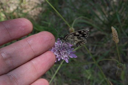 Butterfly on a flower intrigued by a hand in Provence, France
