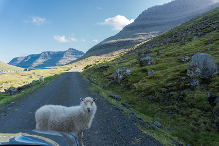a sheep blocks the road without worrying Stock Photo