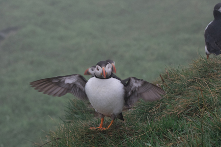 Puffin on the cliffs of Mykines island in the Faroe Islands in summer Stock Photo
